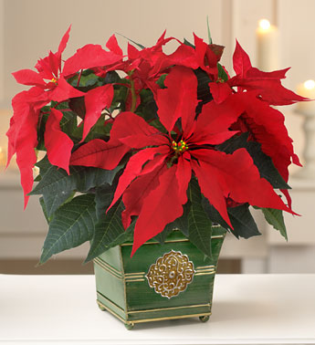 christmas-poinsettia1