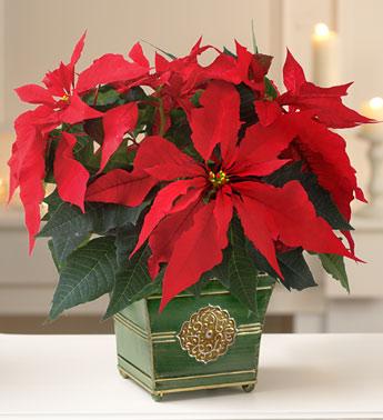 christmas-poinsettia1
