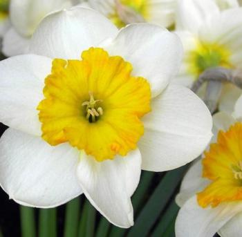 spring-inspire-narcissus