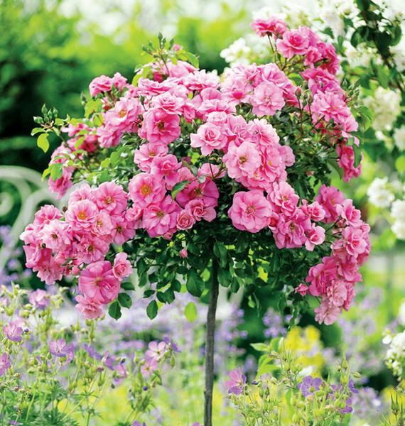 roses-in-garden-inspiration