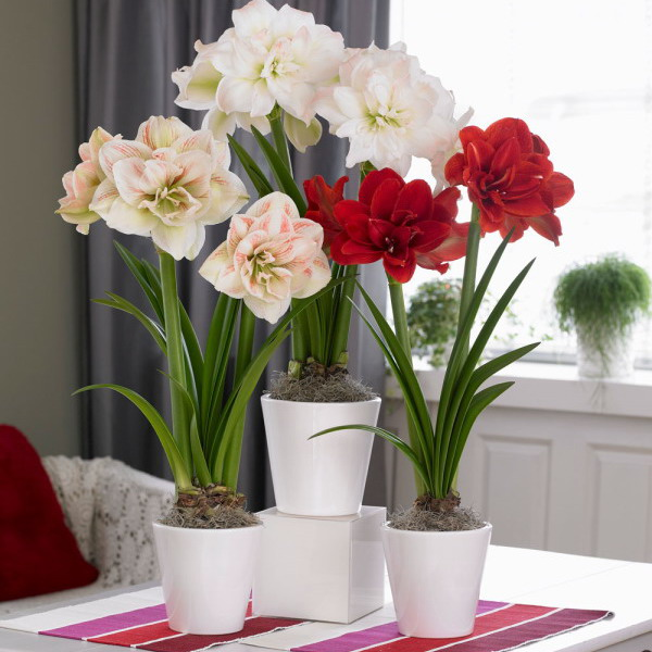 amaryllis-centerpiece-ideas