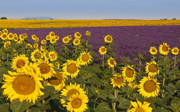 sunflowers-field-in-provence2