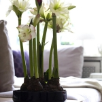 amaryllis-centerpiece-ideas2-3.jpg