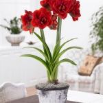 amaryllis-centerpiece-ideas2-8.jpg