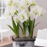 amaryllis-centerpiece-ideas2-9.jpg