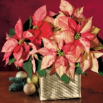 christmas-poinsettia-misc3.jpg