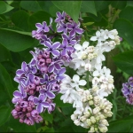 combo-frosted-purple-and-white-flowers3.jpg