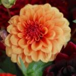 dahlias-bouquets-details2-2.jpg