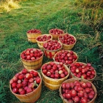 red-yellow-apples-autumn1.jpg