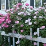 roses-in-garden-fence2.jpg