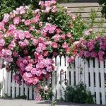roses-in-garden-fence3.jpg