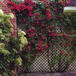 roses-in-garden-fence4.jpg
