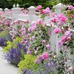 roses-in-garden-fence5.jpg