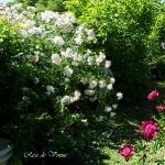 roses-in-garden-inspiration2-1.jpg