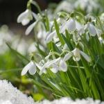 snowdrops-spring6
