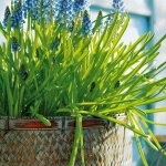 spring-flowers-new-ideas-muscari2.jpg