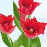 spring-flowers-new-ideas-tulip1-1.jpg