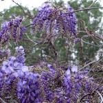 wisteria-branches2.jpg