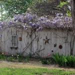 wisteria-branches3.jpg