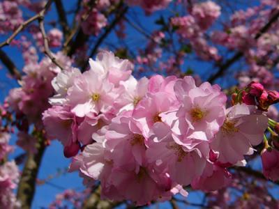 spring-inspire-sakura
