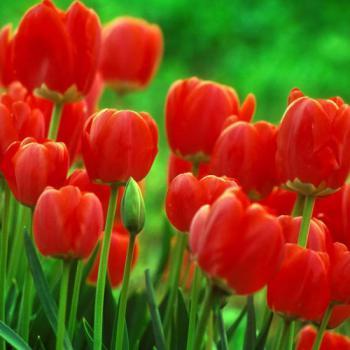 spring-inspire-tulip