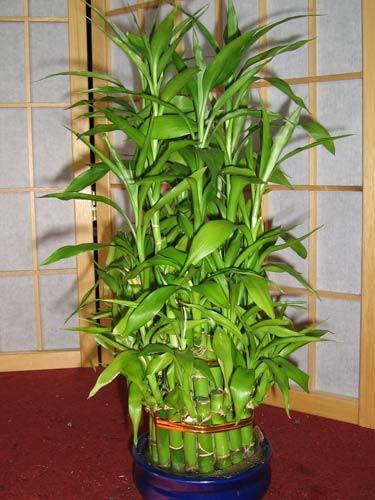 Бамбук фото уход в домашних условиях