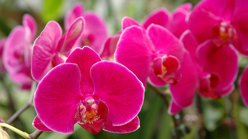 A cluster of pink orchids
