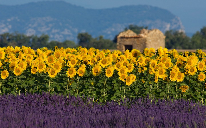 sunflowers-field-in-provence1