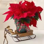 christmas-poinsettia-solo1.jpg