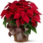 christmas-poinsettia-solo7.jpg