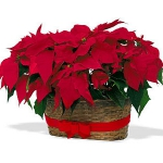 christmas-poinsettia-solo8.jpg