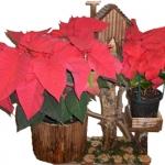 christmas-poinsettia-combo12.jpg