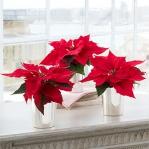christmas-poinsettia-combo4.jpg