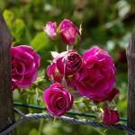 roses-in-garden-inspiration6-2.jpg
