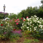 roses-in-parks2.jpg