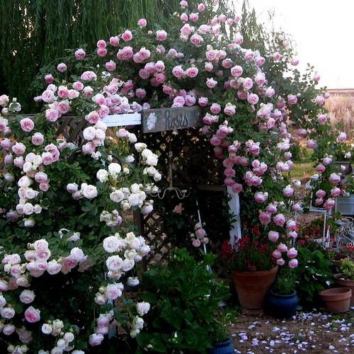 Розы цветов плетущиеся