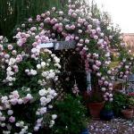roses-in-garden-inspiration1-5.jpg