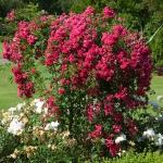roses-in-garden-inspiration2-2.jpg