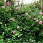 roses-in-garden-inspiration2-6.jpg