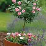 roses-in-garden-inspiration3-1.jpg