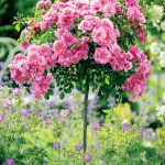 roses-in-garden-inspiration3-6.jpg