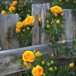 roses-in-garden-inspiration5-2.jpg