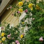 roses-in-garden-inspiration5-3.jpg