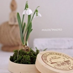 snowdrops-spring-decor-ideas7-8