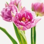 spring-flowers-new-ideas-tulip1-2.jpg