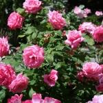 vintage-rose-inspiration-garden2.jpg