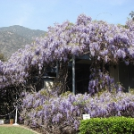 wisteria-branches1.jpg